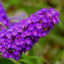 lichtnelke - Zwerg-Schmetterlingsflieder (Buddleja