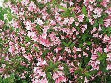 Liebliche Weigelie Weigela florida Pflanze 55-60cm