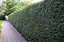 Liguster Atrovirens Heckenpflanzen 50-80 cm hoch