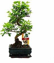 Liguster Bonsai 7 Jahre - 2 bäume
