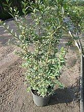 Ligustrum vulgare Atrovirens - Schwarzgrüner