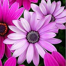 Lila: 20 Sonnenblumenkerne Mini Regenbogen