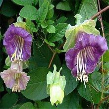 Lila: Bonsai Fingerhut Samen 100 Stücke 10 Arten