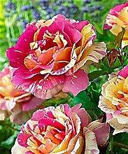 Lila: Ga 100 Rainbow Rose Seeds Wunderschöne
