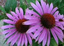Lila Kegel-Blumensamen Sonnenhut Blumensamen - 500