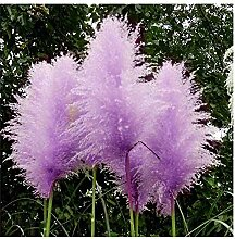 Bienenfreundlich  ca.100 Stück  Raketenblumen  mehrjährig Fackellilie Samen