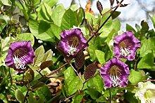 Lila Tasse und Untertasse Vine Samen - Glockenrebe