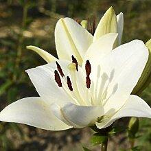 Lilie LilyZwiebeln Hohe Keimrate Pflanze im Garten