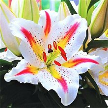 Lilien Knollen,Balkon Pflanze,Eine Einheimische