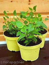 Limonaden Pflanze Agastasche mexicana Kräuter Pflanzen/2 Stk.