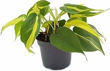 Limonengrüner Baumfreund Philodendron Scandens