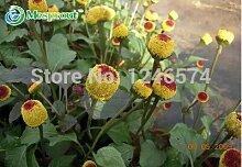 Lippenblütler Pflanze Salvia Japonica Samen 100pcs, natürlich Kräuter Aromatische Pflanzenblumensamen, sehr beliebt Shu Wei Cao Carnosinsäure Seeds