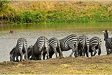 Livingwalls Fototapete Tiere Schwarz | Weiß