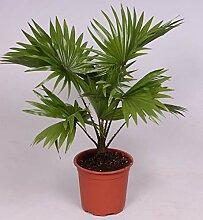 Livistona chinensis 40-45 cm Chinesische