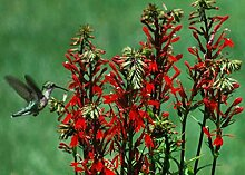 Lobelia cardinalis KARDINAL Blumensamen!