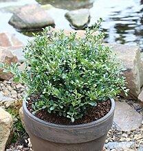 Löffel Ilex Dark Green 10-15cm - Ilex crenata
