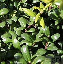 Löffel Ilex Glorie Dwarf 20-25cm - Ilex crenata