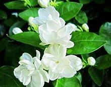 Loss Förderung! 1 Packung zu 50 Stück weiße Jasminsamen, duftende Pflanze arabische Jasmin-Blumensamen für Heim & Garten