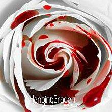Loss Förderung! 150 PCS Rarest Weiß Blut-Rosen-Pflanze Blumensamen Blumengarten Asaka Rare True Blood Rose Samen, # 65WXQ3