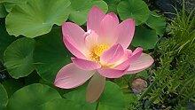 Lotus Blumen Mix Pink und Weis (Nelumbo nucifera) 6 Samen