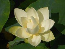 Lotus Weiss Nelumbo nucifera 3 Samen