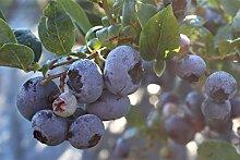 Luberissima Heidelbeere Blueroma® - 3j, sehr grosse, kräftige, robuste Pflanze, im 14 lt. Topf