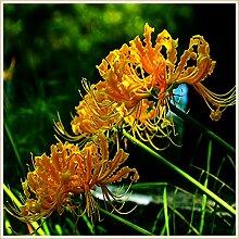 Lycoris Birne,Magische