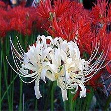 Lycoris Zwiebeln Blumen Im Wohnzimmer