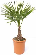 M Palme Trachycarpus fortunei 80-100 cm,