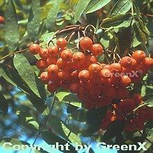 Mährische Eberesche 40-60cm - Sorbus aucuparia