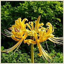 Magische Zierpflanze,Gartenbepflanzung,Lycoris