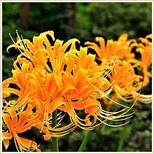 Magische Zierpflanze,Lycoris Birne,Angenehm für