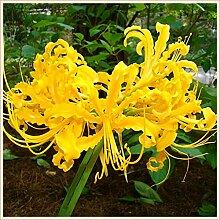 Magische Zierpflanze,Lycoris