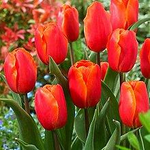 Magische Zierpflanze,Tulpenzwiebeln,Umwelt