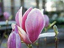 Magnolie 'Satisfaction' - rosa Blüte -