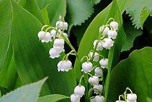 Maiglöckchen Hohe Keimrate Pflanze im Garten