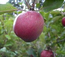 Malus Oberlübbe - Apfel Oberlübbe - Apfelbaum -