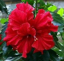 Mandeleibisch, Baumwollrose, Hibiscus mutabilis 5