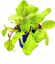 Mangold Pflanze Beta vulgaris Gemüse Pflanzen 4stk