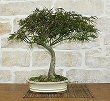 Maple Japonicum bonsai tree (1)