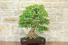 Maple trident bonsai tree (11)