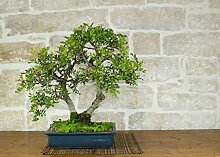 Mastic bonsai tree (19)