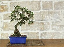 Mastic bonsai tree (23)