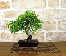 Mastic bonsai tree (36)