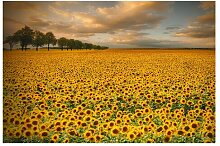 Matt Fototapete Feld mit Sonnenblumen 2,55 m x 384