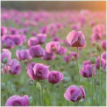 Matt Fototapete Violette Schlafmohn Blumenwiese im