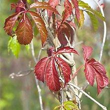 Mauerwein Engelmannii 40-60cm Kletterpflanze im 2L