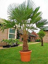 Mediterrane Hybrid Hanfpalme bis 130 cm Höhe aus