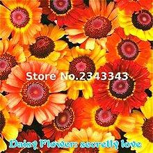 Mehrfarbig: 100 Teile/beutel Gerbera Daisy Seeds