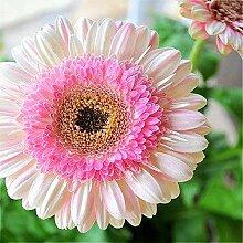 Mehrfarbig: 20 Sonnenblumenkerne Mini Regenbogen